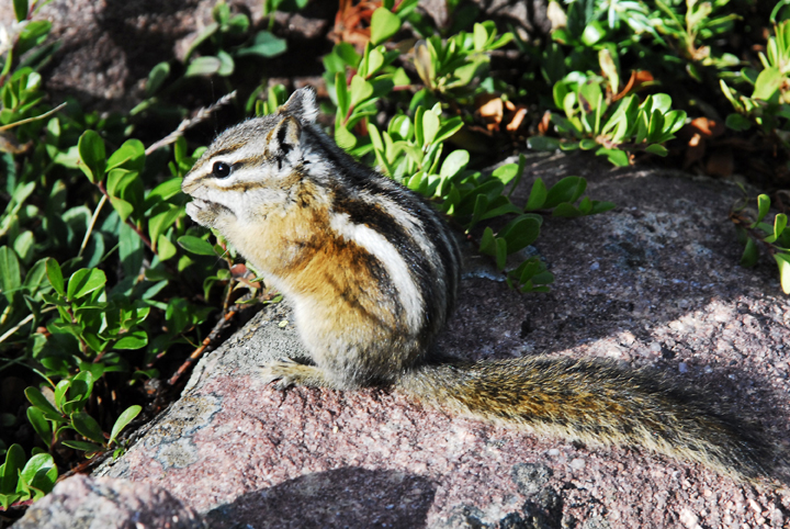 A chipmunk sitting atop a rock enjoying a snack in the sun.